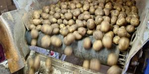 Potatoes on a belt