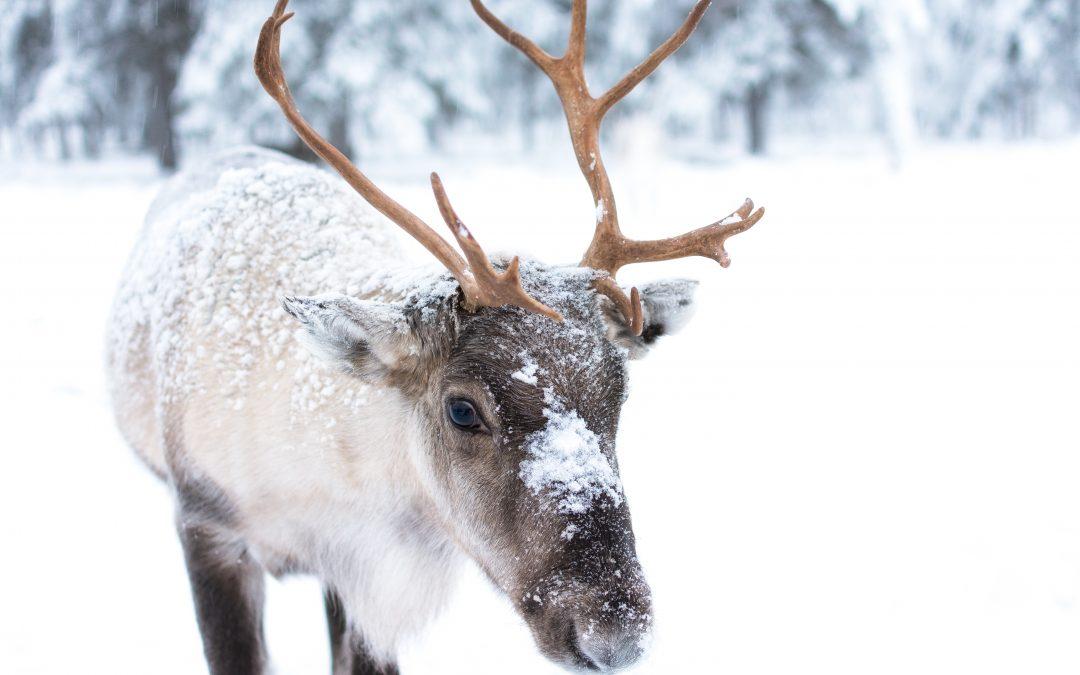 Starvation slashes reindeer herds