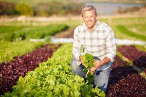 Farmer harvesting lettuce