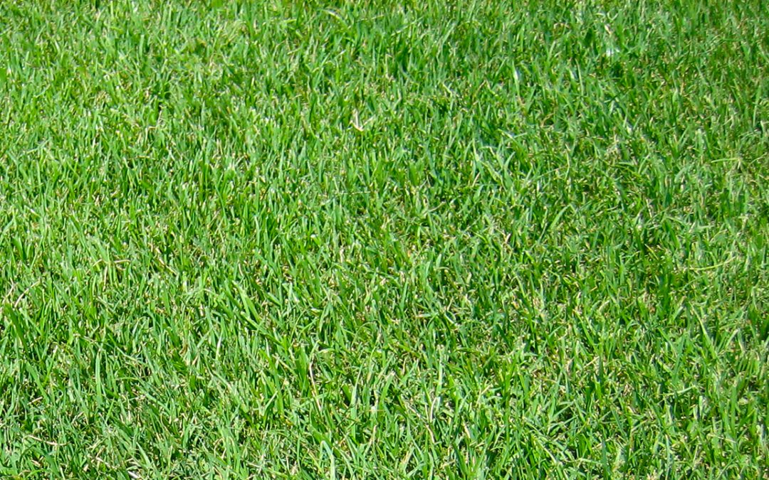 Turf grass, ryegrass, from Tricia