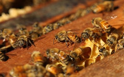 Grant to Fund Honey Bee Research at Auburn