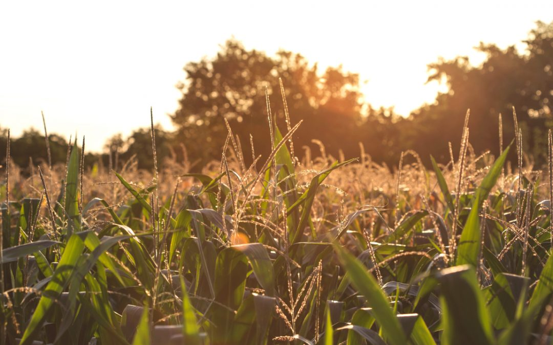 Performance of Field Corn Hybrids in Alabama, 2019