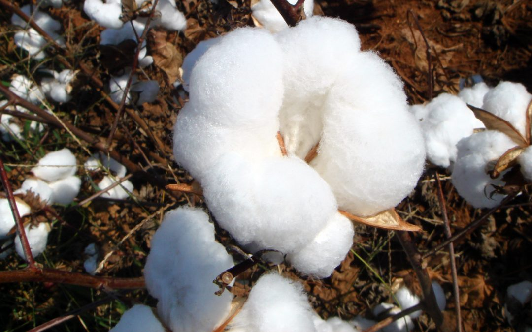 Performance of Cotton Varieties in Alabama, 2017