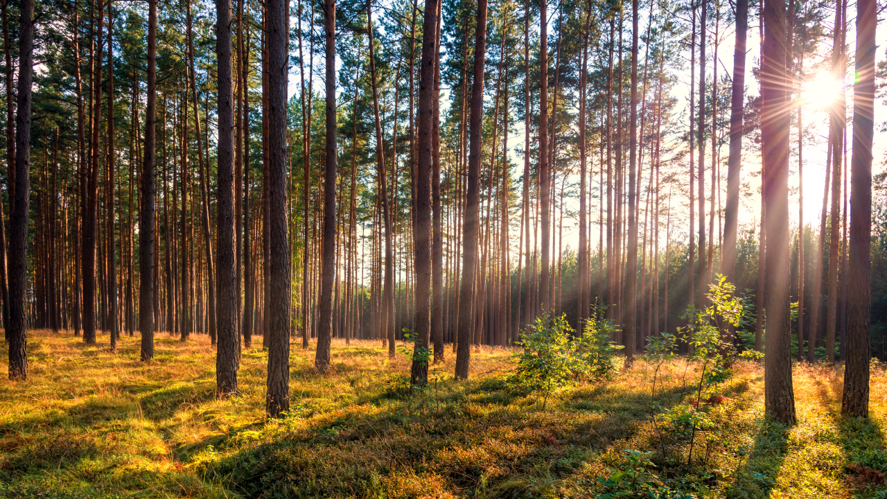 pine forest in sunlight at summer sunset with rays