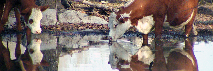 Cattle drinking at water hole. Cattle, pastureland, and forage crop production research.