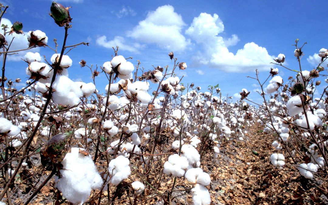 Large cotton field and blue sky with fluffy clouds