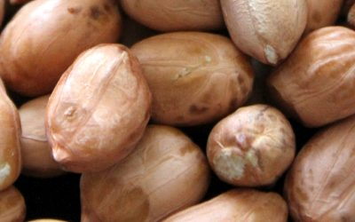Performance of Peanut Varieties in Alabama 2019