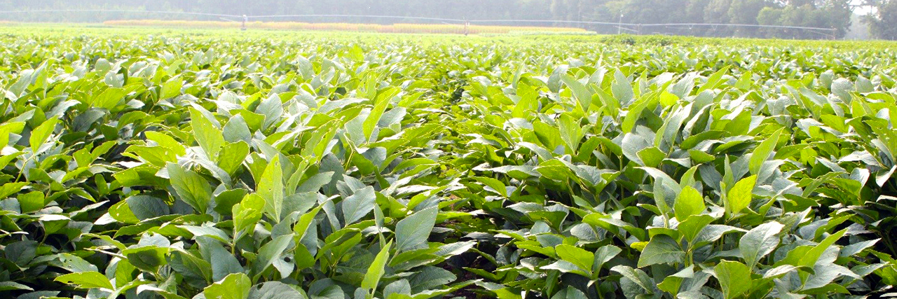 Soybean Crop farm field, variety testing, trial report, extension