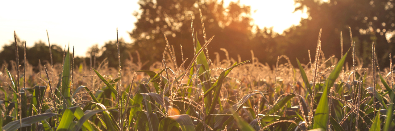 Corn field, Variety Trials, in the morning sun on a southern farm