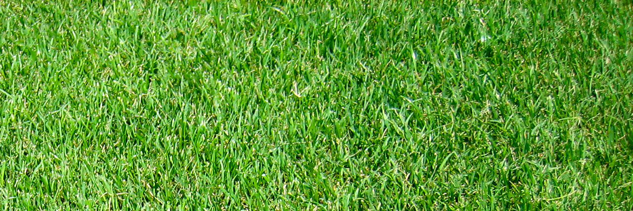 Green lawn turfgrass or ryegrass Tricia in Alabama
