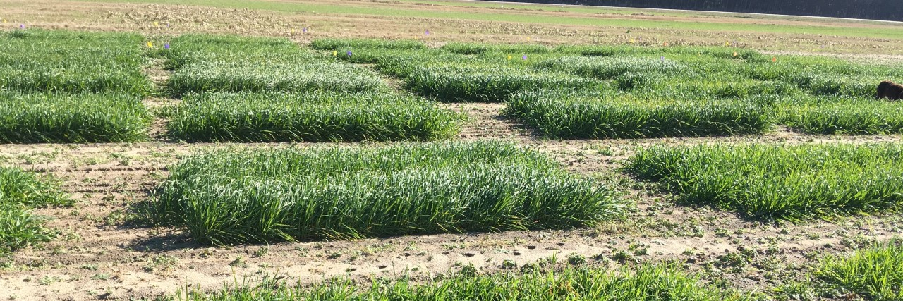 Small Grain Forage Variety Trials