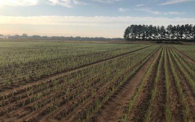 Performance of Small Grain Varieties in Alabama, 2020-2021