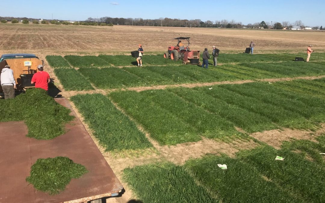 Ryegrass variety trial harvest at Wiregrass 20210105