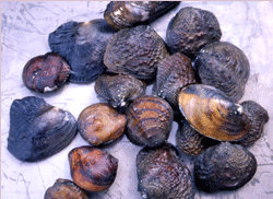 coosa mussels